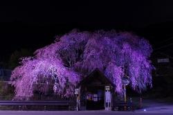 人里夜桜(20180404)