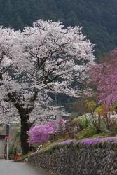 2018-桜1