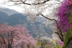2018-桜3
