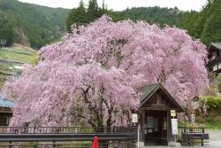 2018-桜7