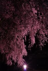 2018-桜4