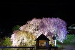 人里夜桜(20180407)