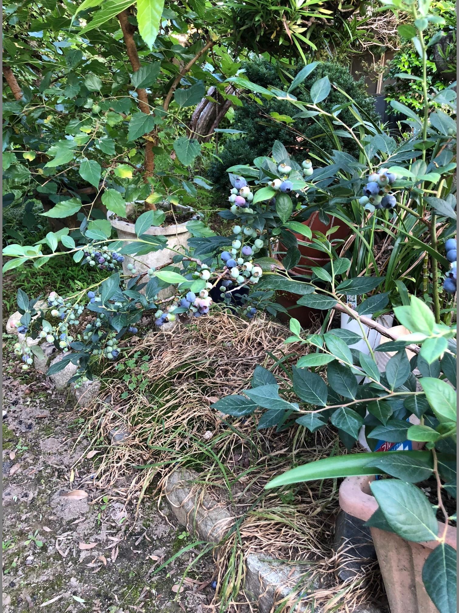 自家菜園のブルーベリー