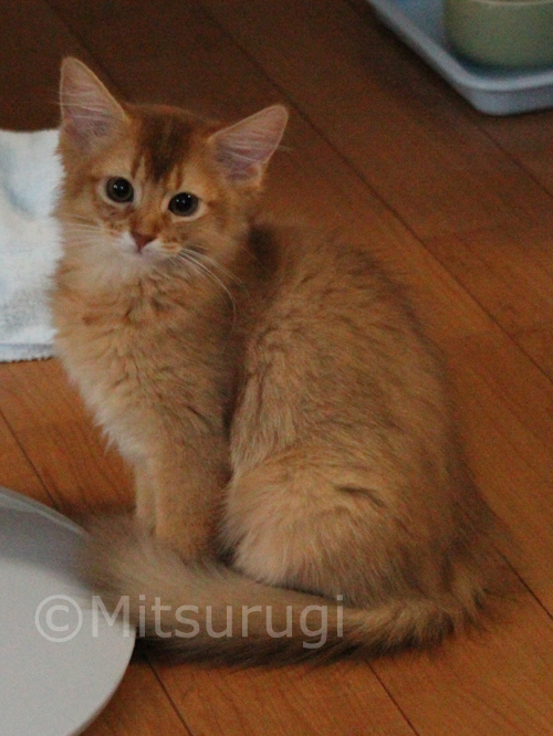 somali red kitten