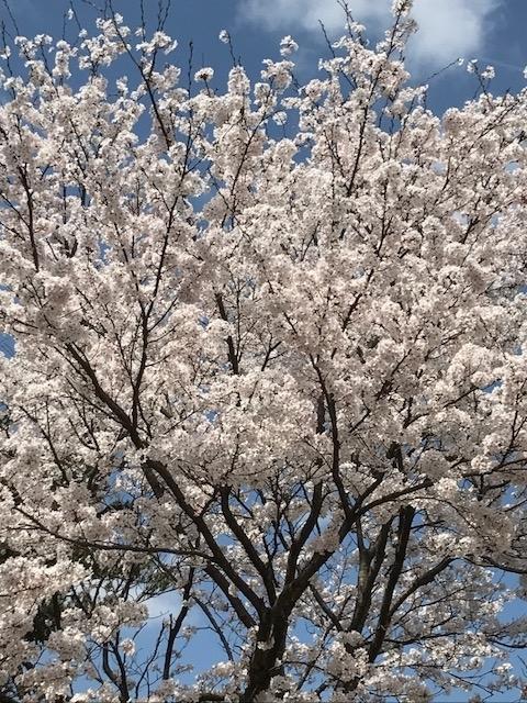 桜 2018年
