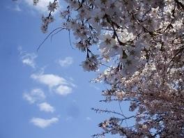 tpo桜1