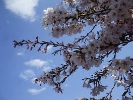 tpo桜2