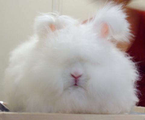 【不安】 ニュージーランド「野生ウサギが増えすぎたなぁー、そや!」 → 結果www。。。。。。。。。。。。