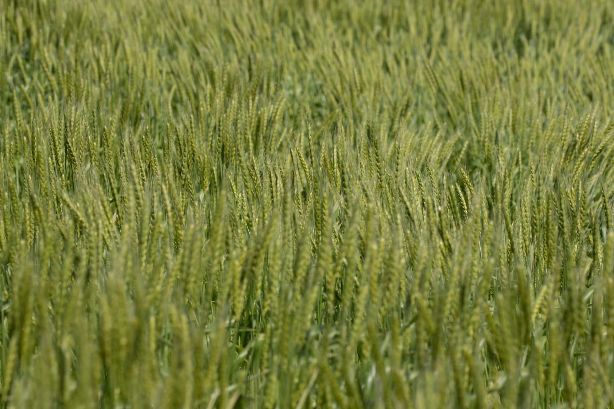 20180409-麦畑