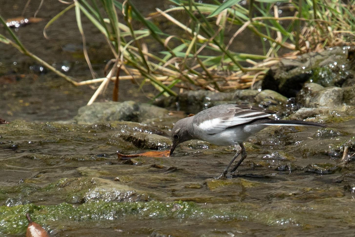 20180521-セグロセキレイ幼鳥