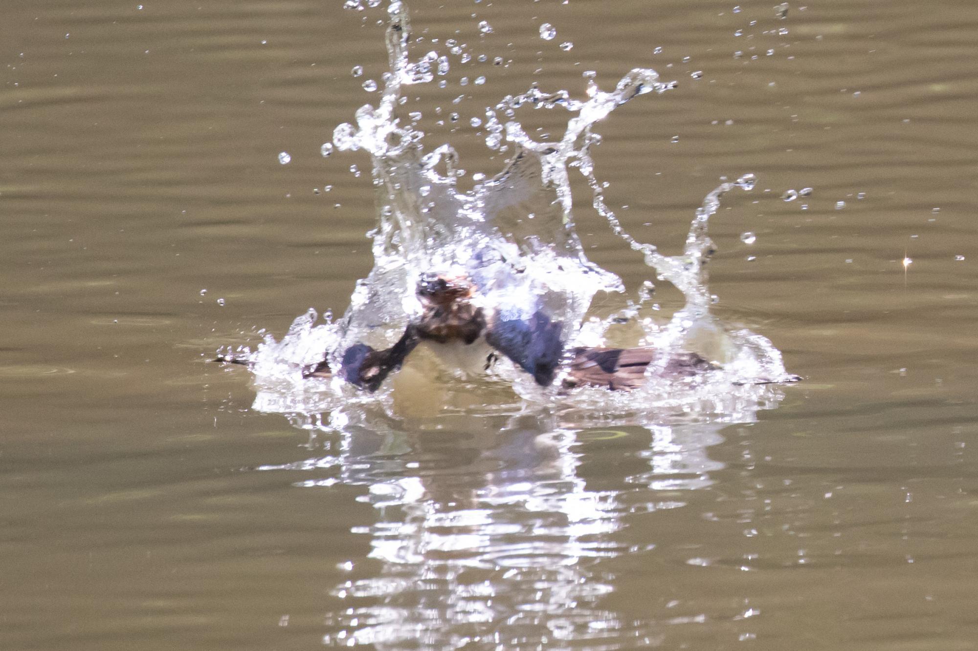 20180630-ツバメ水浴び1