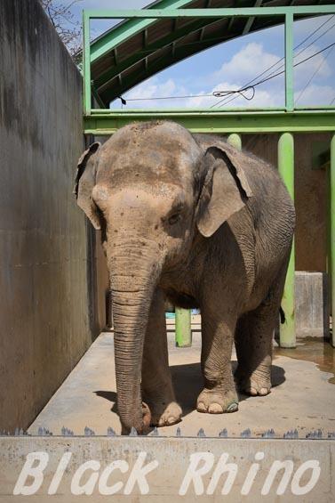 インドゾウ テル01 甲府市遊亀公園付属動物園