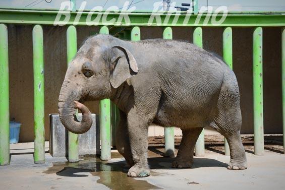 インドゾウ テル04 甲府市遊亀公園付属動物園