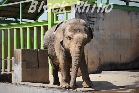インドゾウ テル05 甲府市遊亀公園付属動物園