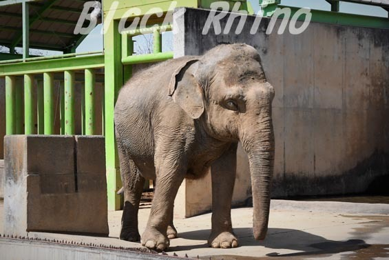 インドゾウ テル06 甲府市遊亀公園付属動物園