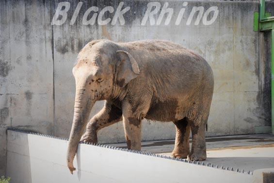 インドゾウ テル07 甲府市遊亀公園付属動物園