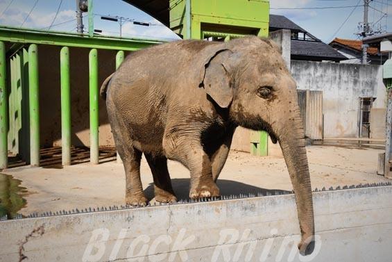 インドゾウ テル08 甲府市遊亀公園付属動物園