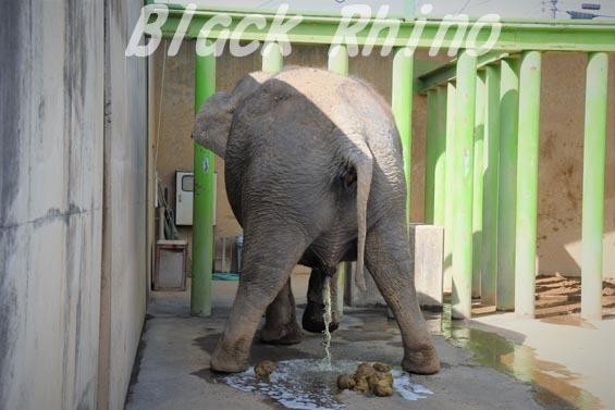 インドゾウ テル10 甲府市遊亀公園付属動物園