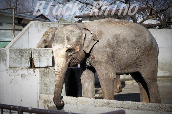 インドゾウ テル19 甲府市遊亀公園付属動物園