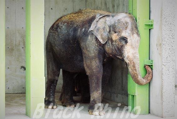 インドゾウ テル21 甲府市遊亀公園付属動物園