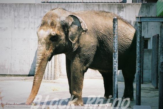 インドゾウ テル22 甲府市遊亀公園付属動物園