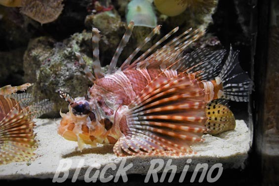 キリンミノ01 沼津港深海水族館