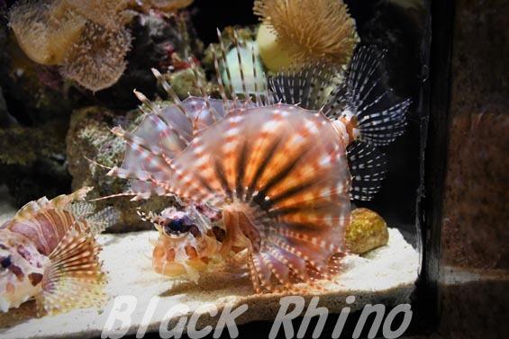 キリンミノ02 沼津港深海水族館