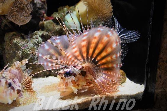 キリンミノ03 沼津港深海水族館