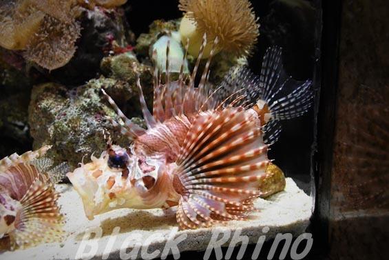 キリンミノ04 沼津港深海水族館