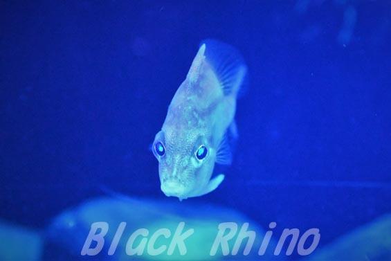 ベニカワムキ02 沼津港深海水族館