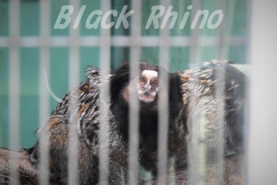 クロミミマーモセット01 甲府市遊亀公園付属動物園