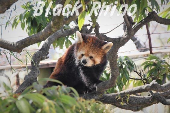 シセンレッサーパンダ03 甲府市遊亀公園付属動物園