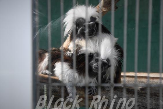 ワタボウシタマリン(ワタボウシパンシェ)02 甲府市遊亀公園付属動物園