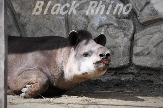 ブラジルバク ハナ02 甲府市遊亀公園付属動物園