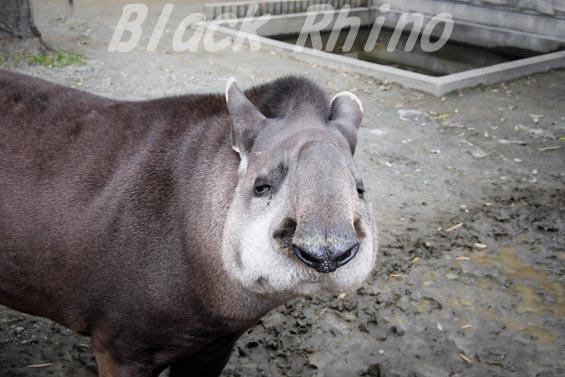 ブラジルバク ハナ05 甲府市遊亀公園付属動物園