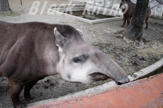 ブラジルバク ハナ07 甲府市遊亀公園付属動物園