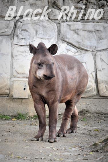 ブラジルバク プーロ05 甲府市遊亀公園付属動物園