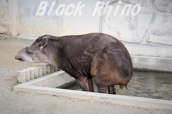 ブラジルバク03 甲府市遊亀公園付属動物園