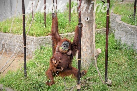 スマトラオランウータン スーミー 第3子 12 市川市動植物園