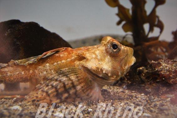 アークティックスタッグホーンスカルピン02 葛西臨海水族園