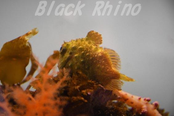 イボダンゴ01 葛西臨海水族園