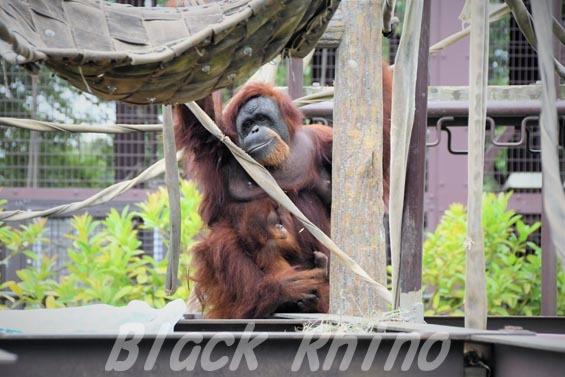 スマトラオランウータン スーミー 第3子 22 市川市動植物園