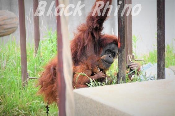 スマトラオランウータン スーミー 第3子 24 市川市動植物園