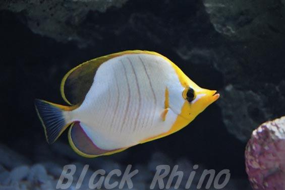 イエローヘッドバタフライフィッシュ01 サンシャイン水族館