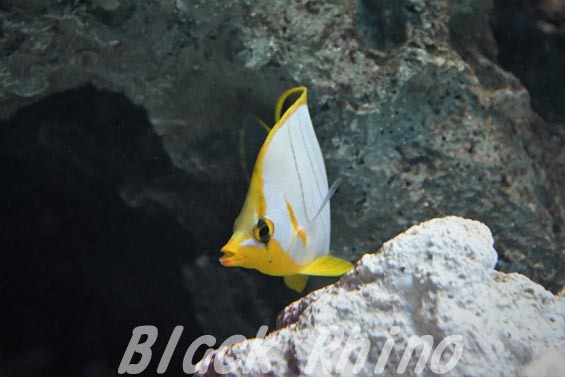 イエローヘッドバタフライフィッシュ02 サンシャイン水族館