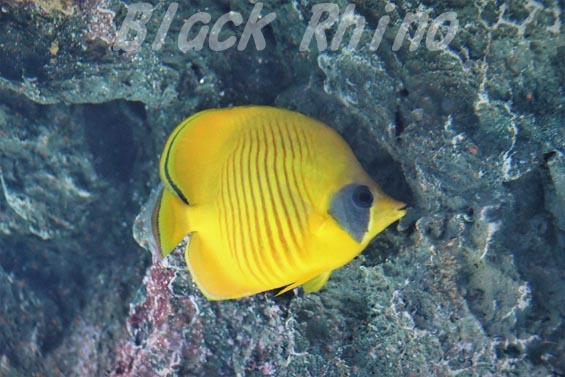 ゴールデンバタフライフィッシュ01 サンシャイン水族館