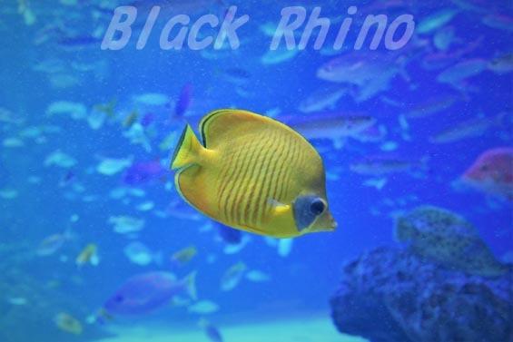 ゴールデンバタフライフィッシュ02 サンシャイン水族館