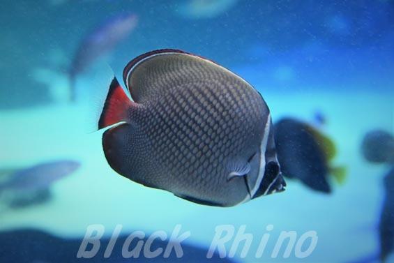 コラーレバタフライフィッシュ01 サンシャイン水族館