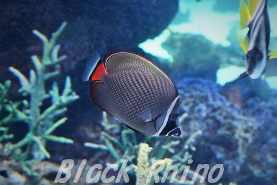 コラーレバタフライフィッシュ02 サンシャイン水族館