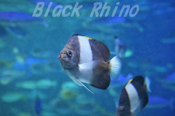 ブラックピラミッドバタフライフッシュ01 サンシャイン水族館